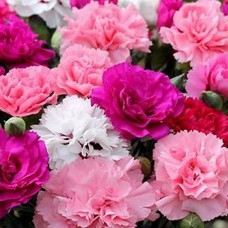 Carnation Perfumery Base