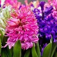 Hyacinth Perfumery Base