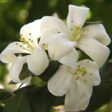 Fruity Jasmine Perfumery Base