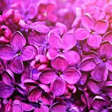 Lilac Perfumery Base