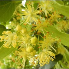 Linden Blossom Perfumery Base
