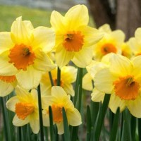 Narcissus Perfumery Base