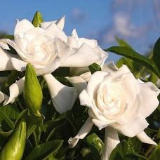 Gardenia Perfumery Base